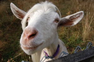 Harry the Pygora goat