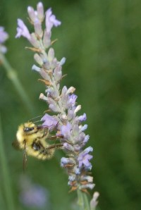 Happy bee on water-wise lavender