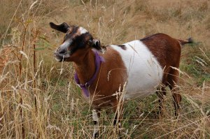Lucy the Alpine/Nubian goat
