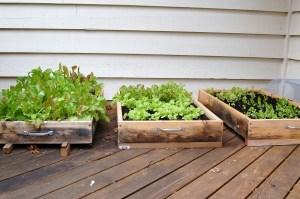 Lettuce boxes, successive planting