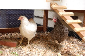 Salty (black and white Barred Rock) and Whitey (Delaware)