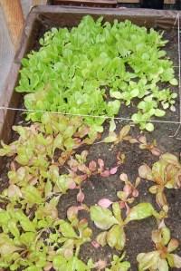 Lettuce in November