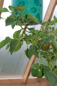 Hanging pepper plant
