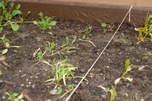Sad little spinach and chard seedlings