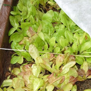 Greenhouse lettuce in December