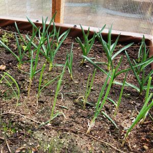 Garlic and onion plants