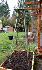 Recycled windmill becomes a pea trellis