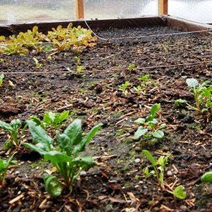 Spinach and lettuce plants and seedlings
