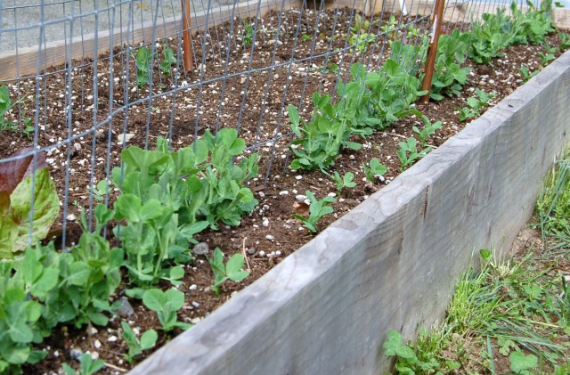 Pea planting bed