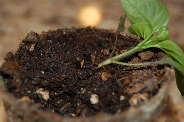 Chopped pepper seedling