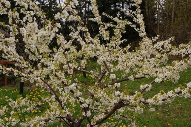 Shiro plum tree in full bloom