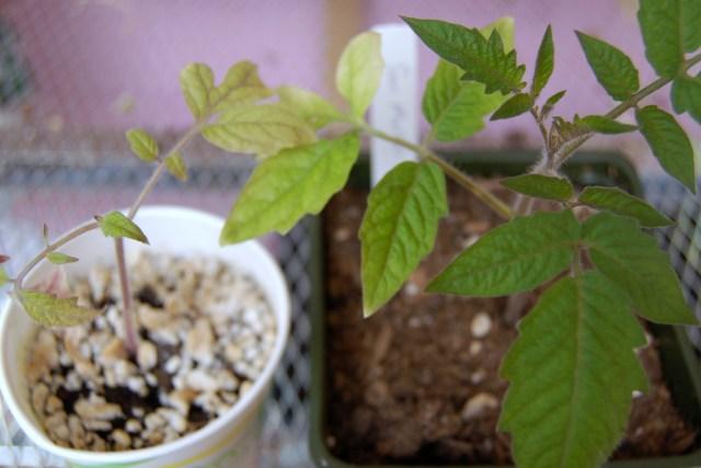 San Marzano tomato seedlings, LED vs. fluorescent grow bulbs