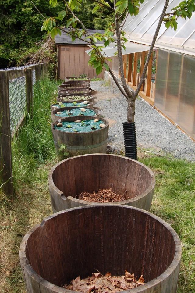 Barrel planters, mid-may