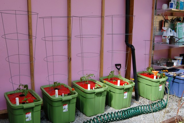 Tomatoes in self-watering containers