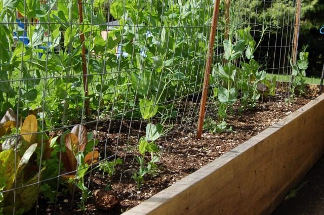 Canoe peas, sparse germination