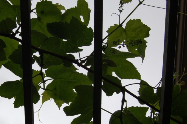 Grapes growing over the pergola