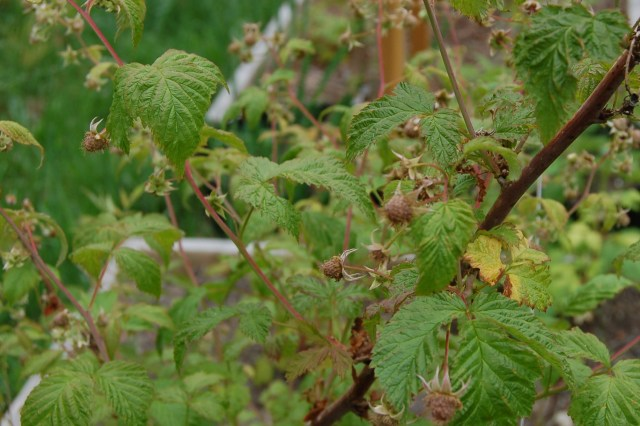 Raspberries in June