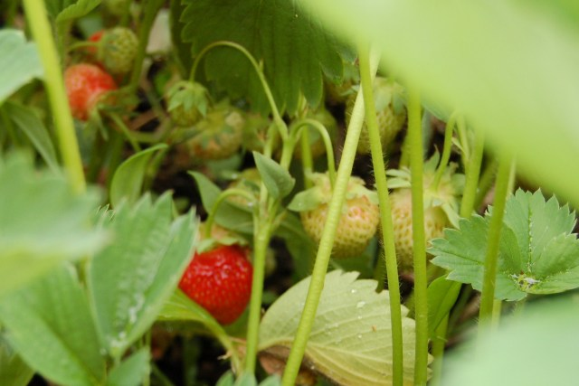 Strawberries in June