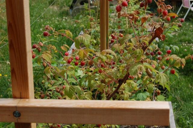 Raspberries in raised beds
