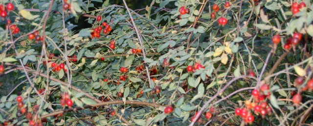 Rose hips on rugosa rose