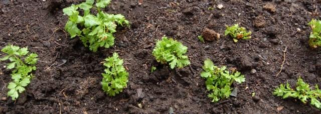 Celery, February 2010