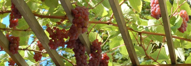 Grapes in September