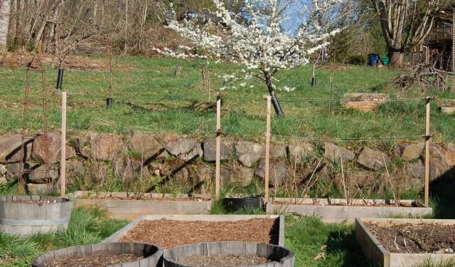 Shiro plum in March