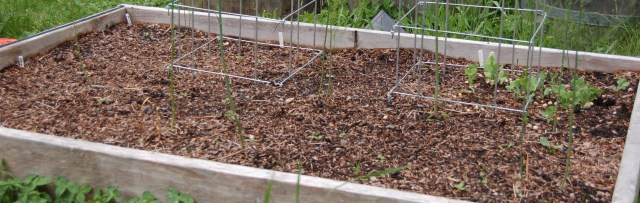 Beans planted in the asparagus bed