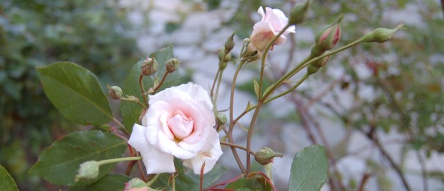 Cecile Brunner climbing rose