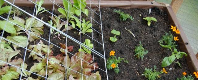 Cucumber trellis, cukes, pepper, and lettuce