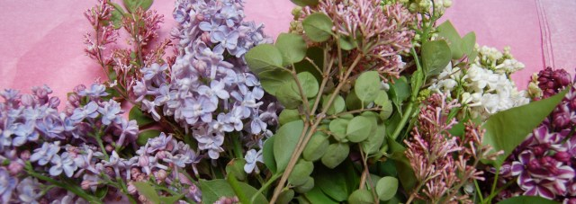 Four varieties of lilac