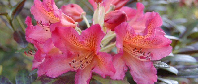 Mystery rhododendron flower