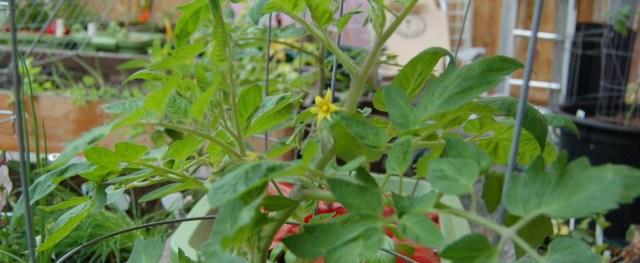 Flowering Roma tomato