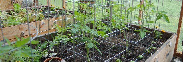 Greenhouse tomatoes at the end of May