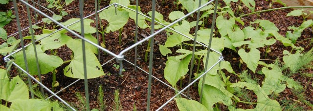 Pole beans and shelling beans