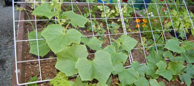 Trellised cucumbers in the greenhouse