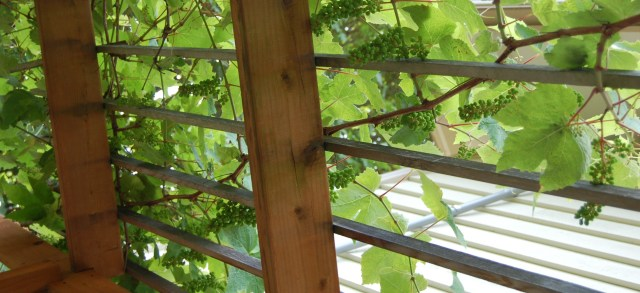 Grapes growing on the patio pergola