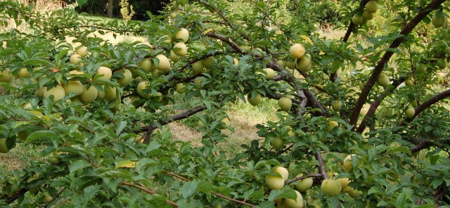 Shiro plum in late July