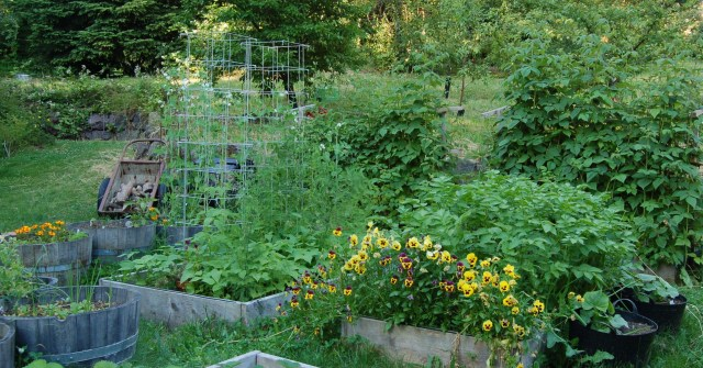 Raised beds in the lower garden
