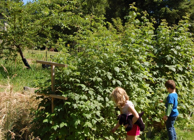 Giant raspberry plants