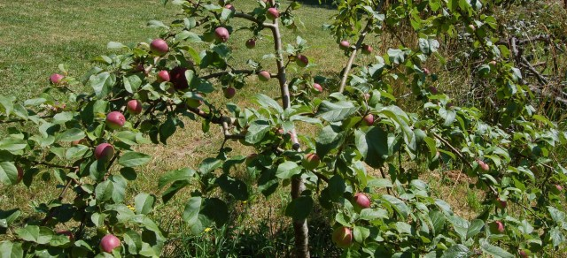 Our favorite apple tree, cropping nicely