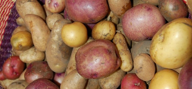 Various potatoes grown in a yard waste pile under straw
