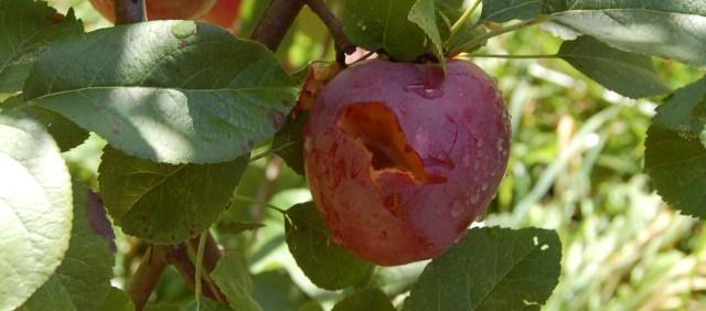 A critter damaged apple