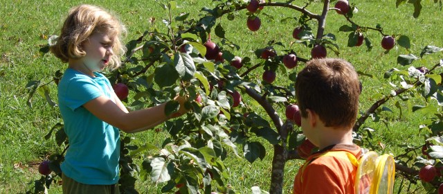 Harvesting our favorite apple tree