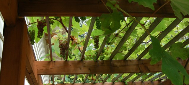 Grapes, starting to ripen