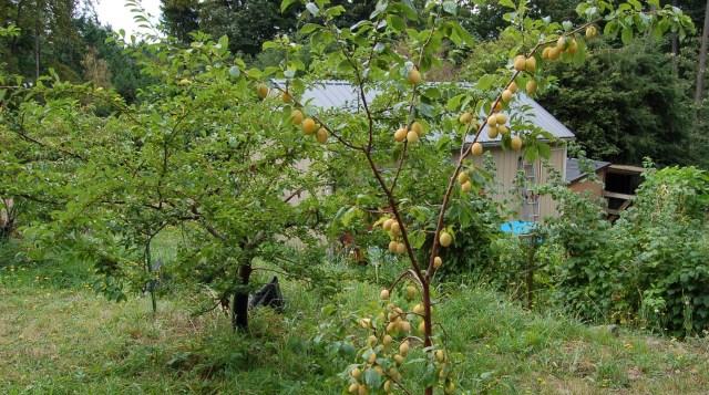 Schoolhouse plums, ready for harvest