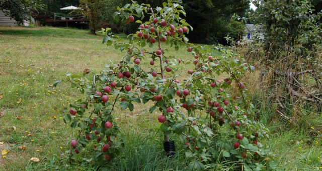 Our favorite apple tree