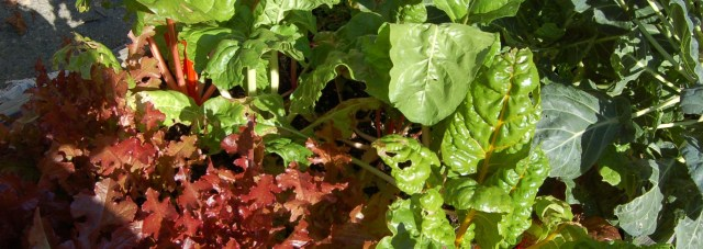 Swiss chard and lettuce
