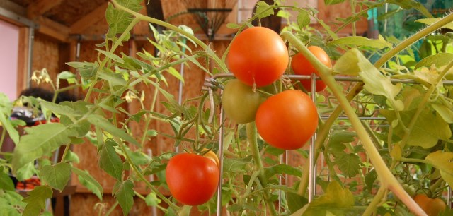 Bloody Butcher tomatoes in the greenhouse