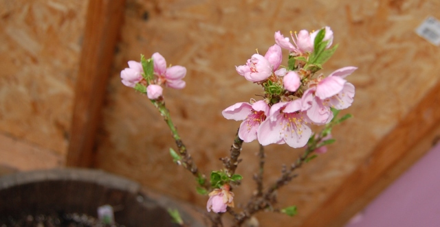 Peach blossoms in greenhouse